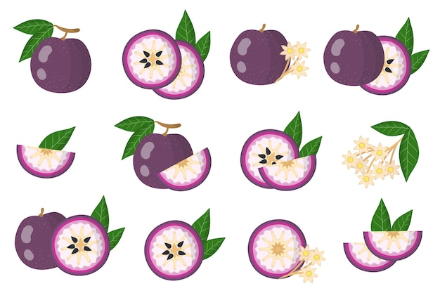 Set of illustrations with purple star apple exotic fruits, flowers and leaves isolated