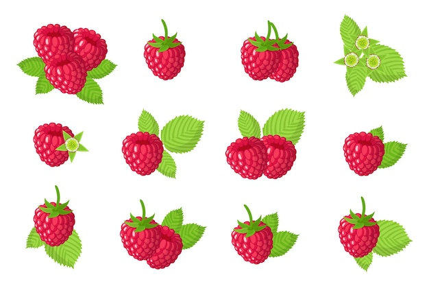 Set of illustrations with red raspberry exotic fruits, flowers and leaves isolated