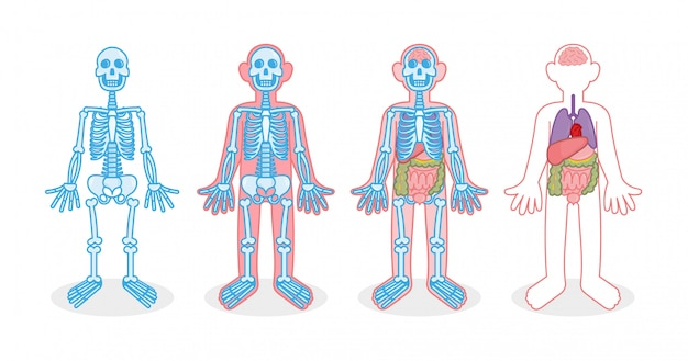 Set for infographic four human body with different х-ray skeleton bones internal organs person. heart brain liver stomach thin intestine colon lungs.