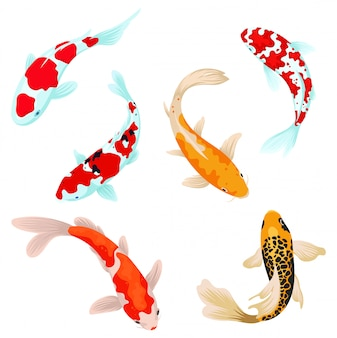 Set of koi carps fish. сollection of asian ornamental fish for a pond. top view of fish.