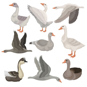 Set of large geese in different actions. wild and farm birds. rural animal. wildlife theme