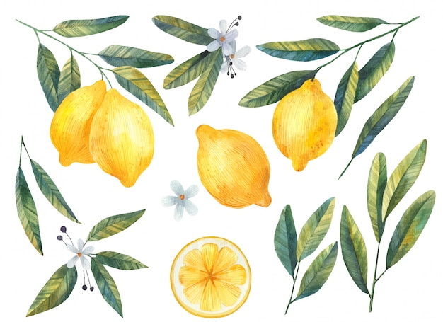 Set of lemons with leaves and flowers watercolor illustration on white background