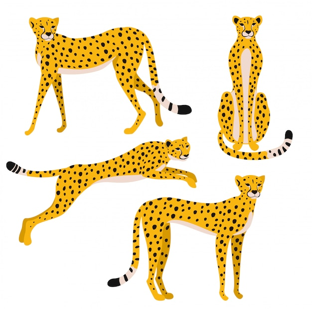 Set of leopards isolated on white background.  illustration.