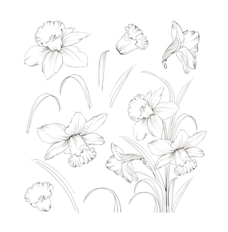Set of line hand drawing narcissus.