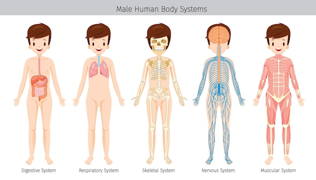 Set of male human anatomy, body systems