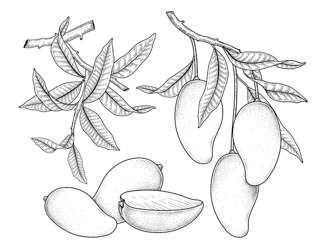 Set of mango fruit hand drawn elements botanical illustration