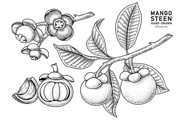 Set of mangosteen fruit hand drawn elements botanical illustration