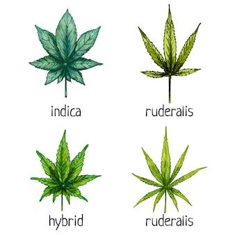 마리화나 다른 잎을 설정합니다. 하이브리드, 인디카, 루데랄리스, 사티바. 벡터 색상 빈티지 해칭 그림 흰색 배경에 고립. 대마초 상점이 있는 레이블, 포스터, 웹용