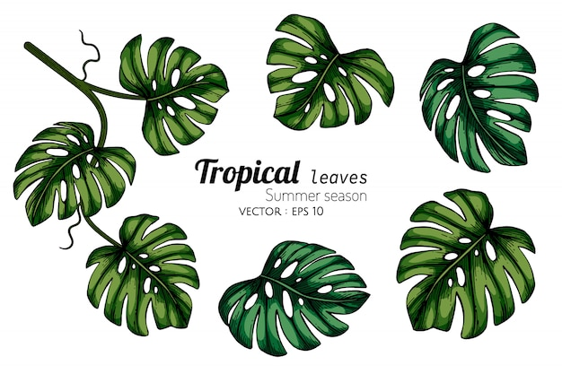 Set of monstera tropical leaf drawing illustration with line art on white