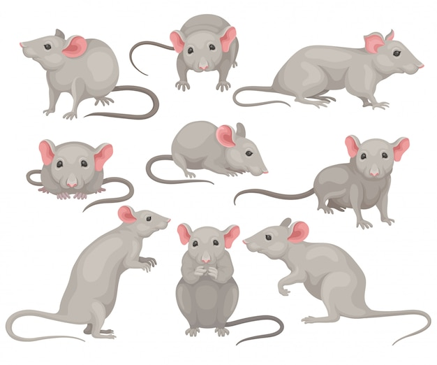 Set of mouse in different poses. small rodent with gray coat, big pink ears and long tail. cute domestic mice