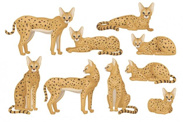 アフリカのサーバルのセット。耳が大きく、茶色のコートに黒い斑点がある優雅な野生の猫。捕食動物