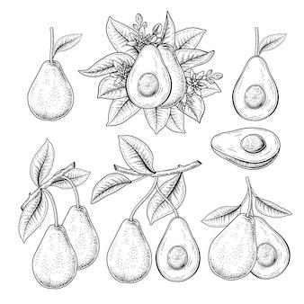 아보카도 과일 손으로 그린 삽화의 집합입니다.
