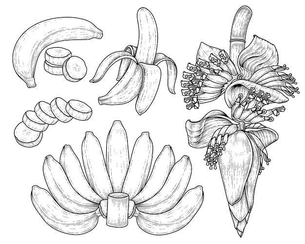 바나나 과일과 바나나 꽃 손으로 그린 스케치 세트