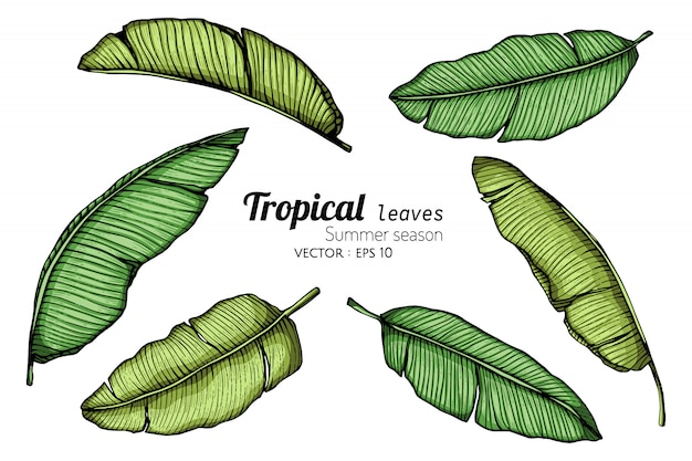 白い背景のラインアートとバナナの葉の描画図のセット。