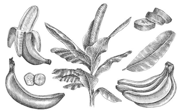 Набор бананов. нарисованный от руки. клипарт фрукты. в наборе разрезанный банан, пучок бананов, тропические листья.