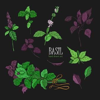 バジル植物、緑、紫のセットです。カラフルな手描きのコレクション。