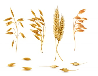 Set of cereal plants, oat spikelets, barley ears, wheat or rye with grains isolated