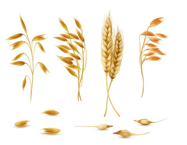 Набор злаковых растений, овсяные колоски, уши ячменя, пшеница или рожь с выделенными зернами