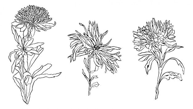 Набор контурных иллюстраций цветочная астра с листьями в стиле модерн