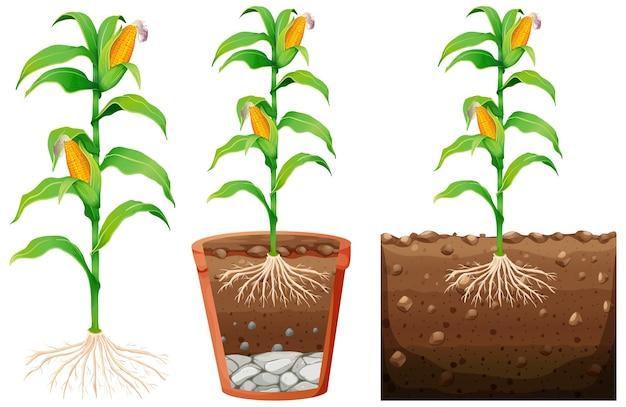 Набор растений кукурузы с корнями, изолированные на белом фоне