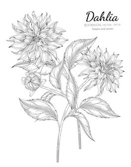 ダリアの花と葉の手描きの植物画と線画のセット