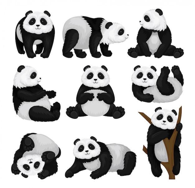 Набор смешные панды в разных позах. бамбуковый медведь с пушистым черно-белым мехом и милой мордочкой. тропическое животное. графические элементы для открытки или детской книги. отдельные плоские иллюстрации.