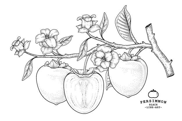Набор фруктов хачия хурмы рисованной элементы ботанические иллюстрации