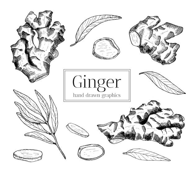 Набор рисованной корнеплодов имбиря с листьями и кусочками эскиза иллюстрации