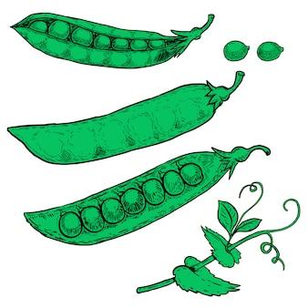 白い背景の上の手描きエンドウ豆イラストのセットです。画像