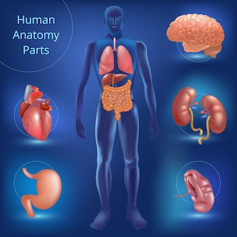 人体解剖学パーツのセット