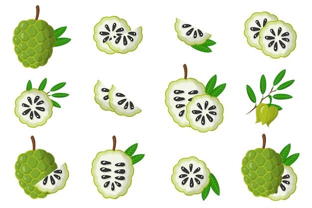 Набор иллюстраций с экзотическими фруктами, цветами и листьями annona, изолированных на белом фоне. набор изолированных иконок.