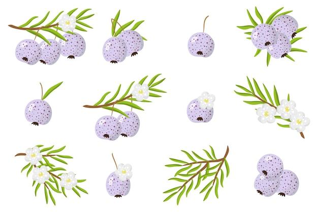 Набор иллюстраций с экзотическими фруктами, цветами и листьями austromyrtus, изолированных на белом фоне. набор изолированных иконок.