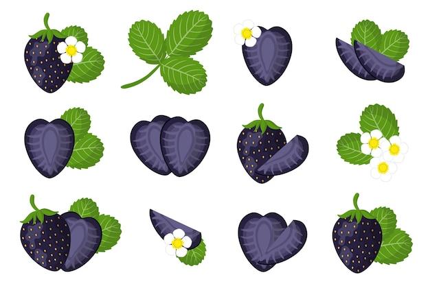 Набор иллюстраций с экзотическими фруктами, цветами и листьями черной клубники, изолированных на белом фоне. набор изолированных иконок.