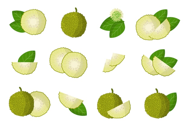 Macluraのエキゾチックな果物、花、葉を分離したイラストのセット