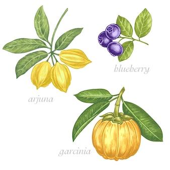 薬用植物の画像のセット。生物学的添加物です。健康的な生活様式。アルジュナ、ブルーベリー、ガルシニア。