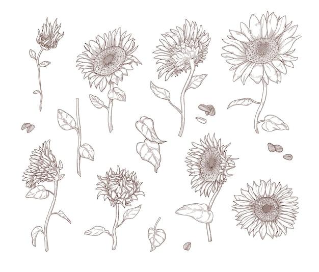 モノクロのひまわりのスケッチのセットです。手描きのビンテージスタイルのヒマワリの葉、茎、種子、花びら