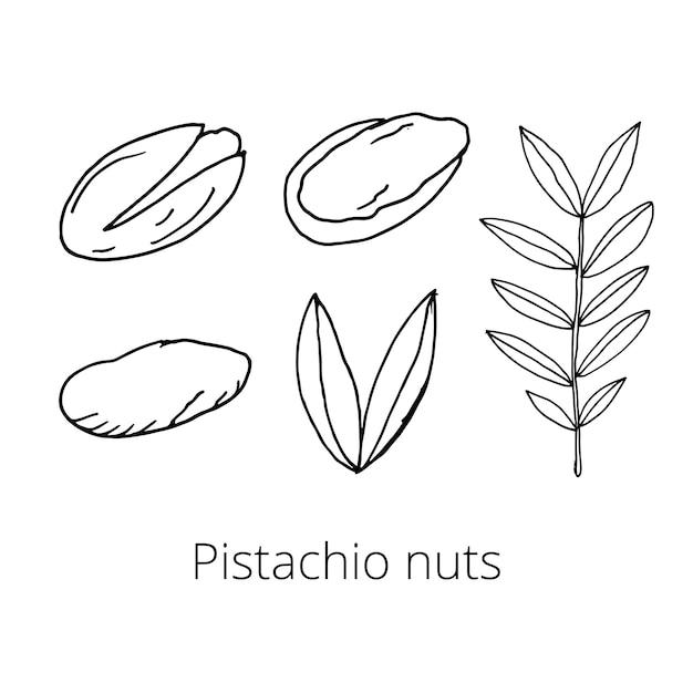 白い孤立した背景にナッツのセット。ピスタチオ、全体と皮をむいた、葉。手描きの落書き。ベクトルイラスト