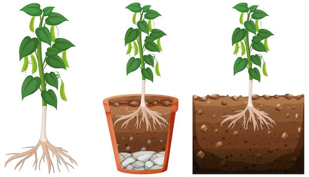 エンドウ豆の植物のセット