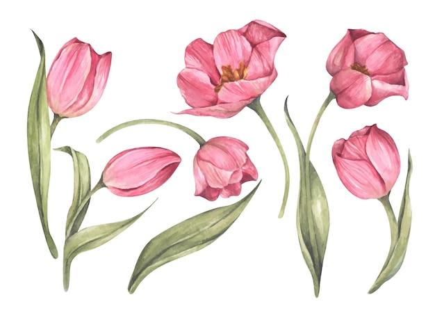 Набор розовых тюльпанов. акварель цветочные ботанические иллюстрации.