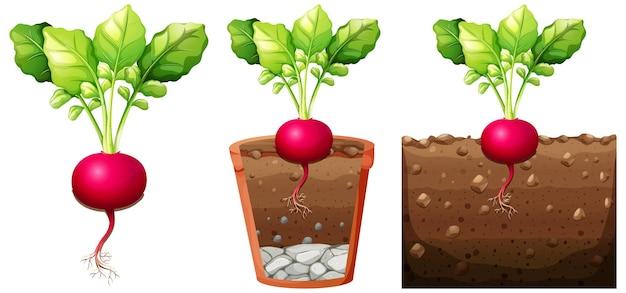 白い背景で隔離の根を持つ大根植物のセット