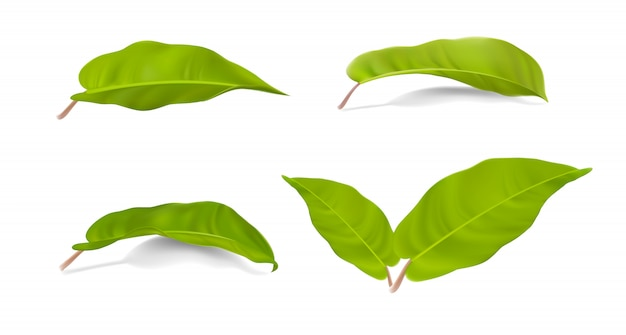 白のフィロデンドロンレモンライムの現実的な緑の葉のコレクションのセット