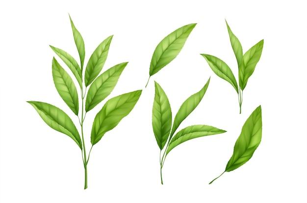 白い背景で隔離のリアルな緑茶の葉と芽のセット。緑茶の小枝、茶葉。ベクトルイラスト