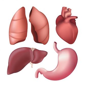 現実的な人間の内臓-肺、肝臓、心臓、胃のセット。白い背景に分離されたさまざまな解剖学的体の部分のイラスト