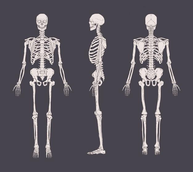 고립 된 현실적인 해골 세트입니다. 전방, 측면 및 후방. 인간의 골격 시스템의 해부학의 개념.