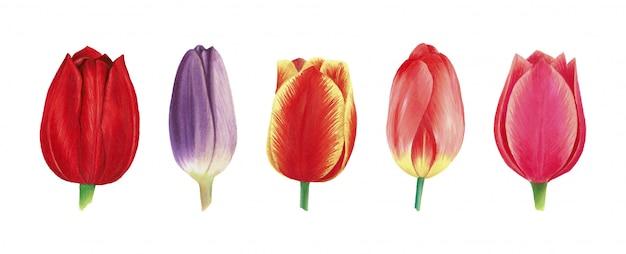 수채화로 그려진 현실적인 튤립 꽃의 집합입니다.