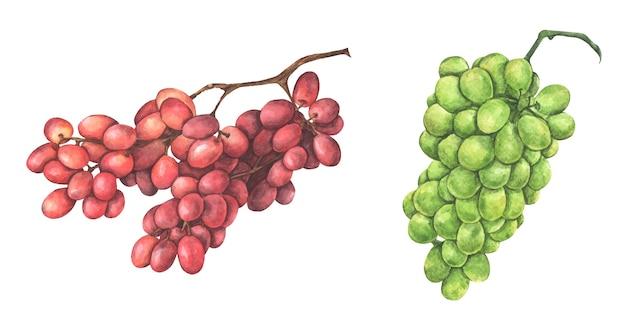 Набор красного и зеленого винограда. акварельная иллюстрация.