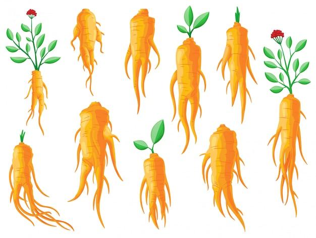 뿌리와 잎 인삼의 집합입니다. 건강한 생활. 전통 의학, 원예. 약용 식물의 다채로운 평면 삽화. 흰색 배경에 고립