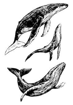 3つのクジラのスケッチのセット。海の動物の手描きのベクトルイラスト。白で隔離のリアルなレトロな図面。デザインプリント、ポスター、装飾、タイポグラフィ、カードの黒の落書き要素。