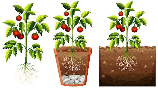 白い背景で隔離の根を持つトマト植物のセット