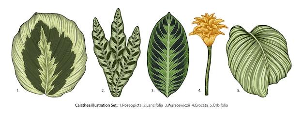 열 대 calathea 잎 흰색 절연의 세트